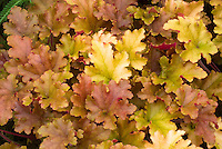 Heuchera &lsquo;Marmalade&rsquo; Marmelade foliage perennial plant with many colored leaves