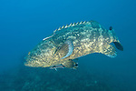 Gardens of the Queen, Cuba; a Goliath Grouper swimming in the blue water over the coral reef