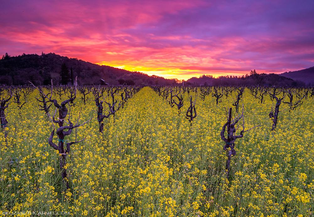 Wildflower Sunrise, Napa Valley