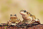 Pair of Common Frog (Rana temporaria) perched on log, West Midlands