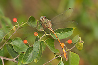 341700007 a wild female broad-striped forceptail dragonfly aphylla angustifolia perches on a small plant near santa ana national wildlife refuge in south texas