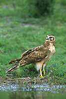 511450010 a wild juvenile northern harrier circus cyaneus stands by a small pond alertly checking its surroundings before drinking in the rio grande valley of south texas united states