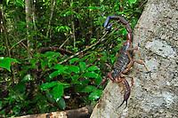 Scorpion (Grosphus ankarana), Ankarana National Park, Northern Madagascar