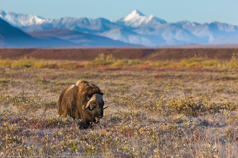Muskox on the autumn tundra, Brooks range mountains, arctic, Alaska.