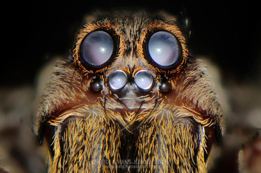 Tarantula Eyes Eyes of a Tarantula Heidi