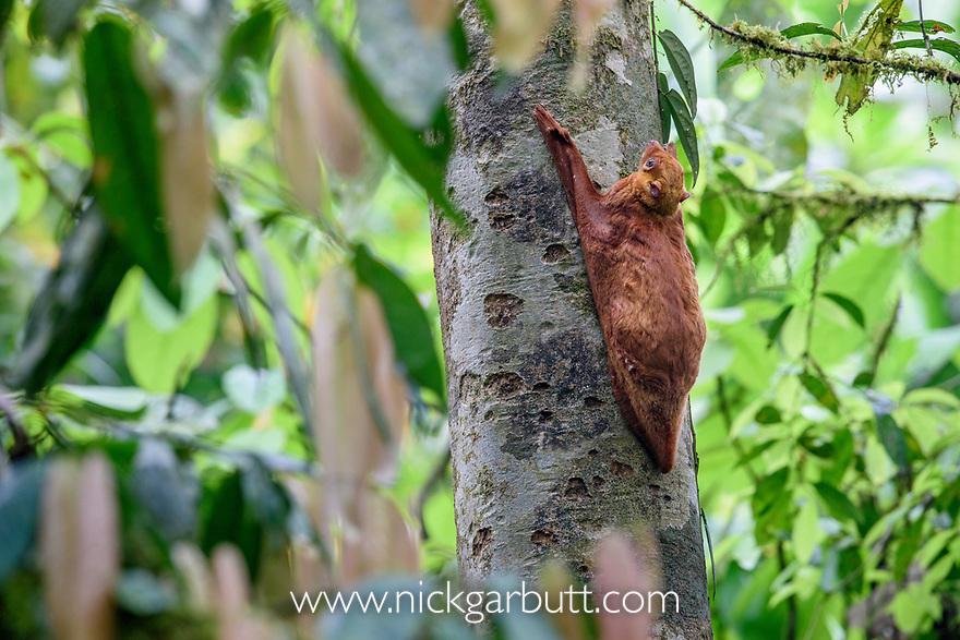 Sunda Colugo  or Sunda Flying Lemur (Cynocephalus [Galeopterus] variegatus)(peculiar red colour morph) in daytime resting posture. Danum Valley, Sabah, Borneo.