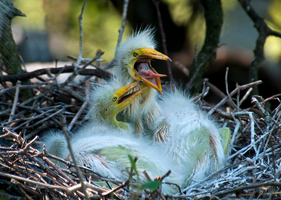 Great white egret feeding chicks in the nest waiting to be feed.