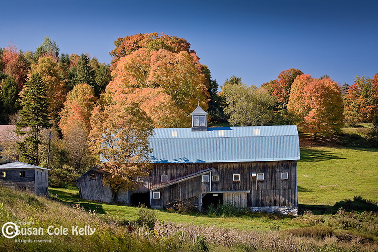 Autumn maples contrast with the colors of a dairy barn, Barnet, VT, USA