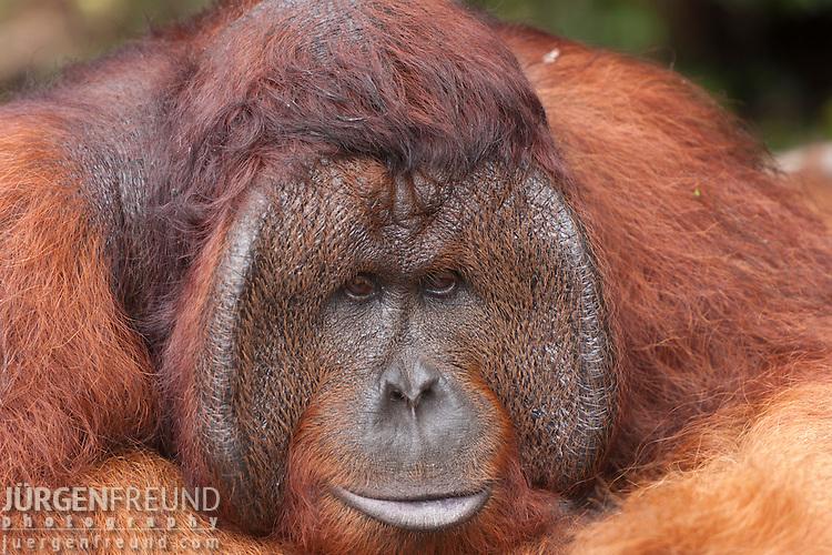 Orangutan King Bornean Orangutan - To...