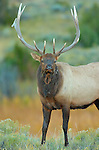 Bull Elk at Dawn, Close Portrait, Lower Mammoth, Yellowstone National Park, Wyoming