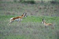 673080111 wild pronghorn antilocarpa americana graze and interact on a grassy hillside near canadian texas united states