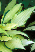 Hosta 'Pineapple Upside Down Cake'