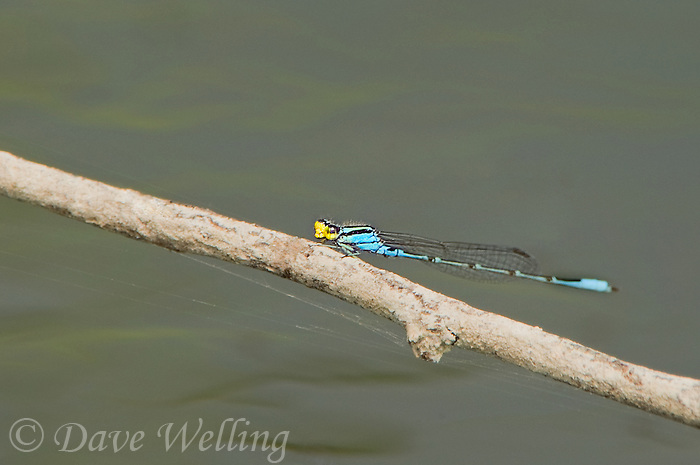 399780002 a wild male caribbean yellow-face damselfly neoerythromma cultellatum perches on a dead branch over a stream in bentsen rio grande valley state park in south texas