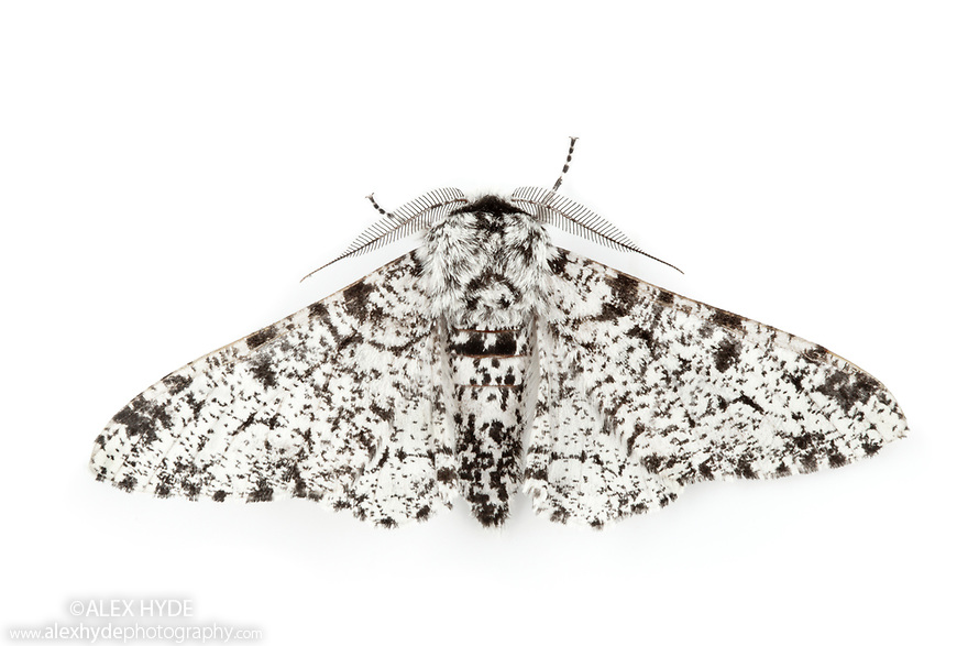 Peppered Moth {Biston betularia} on a white background. Derbyshire, UK.