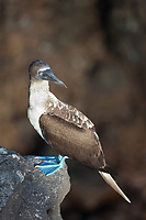 Blue-footed booby, South Plaza Island, Galapagos Islands, Ecuador