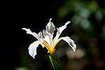 California wildflower travel: White Douglas iris at Point Reyes.Photo copyright Lee Foster.  Photo # cawild103743