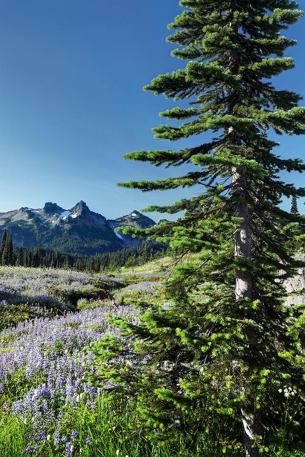 Tatoosh Mountains and subalpine wildflower meadow, Paradise, Mount Rainier National Park, Washington