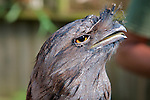 Tawny Frogmouth, Healesville Sanctuary