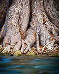 Cypress roots and the Guadalupe River. James Kiehl River Bend Park near Comfort, Texas.