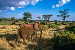 African elephant herd, Samburu National Reserve, Kenya