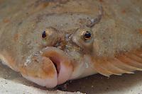 Flunder, Portrait, Raubutt, Graubutt, Struffbutt, Sandbutt, Platichthys flesus, European flounder. Fisch des Jahres 2017