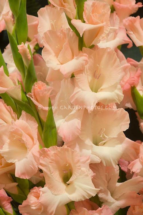Gladiolus 'Pink Lady' (pale pink)