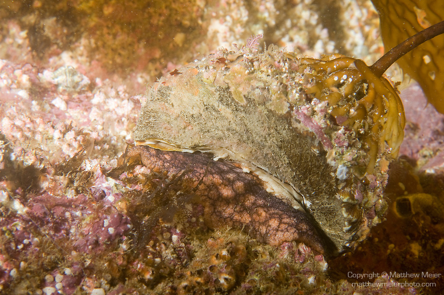Catalina Island, Channel Islands, California; a Wavy Turbin Snail (Lithopoma undosum) moves over the rocky reef at night, with a Giant Kelp holdfast attached to the top of it's shell