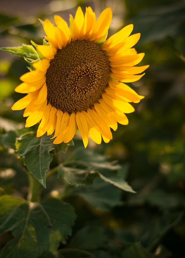 A lone sunflower in a field near Fredericksburg, Texas, Friday, July 24, 2009. (Darren Abate/pressphotointl.com)