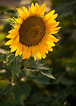 A lone sunflower in a field near Fredericksburg, Texas, Friday, July 24, 2009. (Darren Abate/pressphotointl.com)