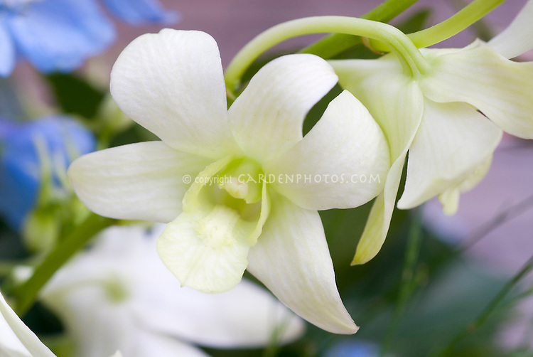 Orchid Dendrobium white