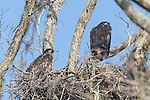 Brazoria County, Damon, Texas; a pair of juvenile bald eagles sitting in their nest at the top of a large tree on the edge of the pasture in early morning sunlight, the pair had not yet fledged