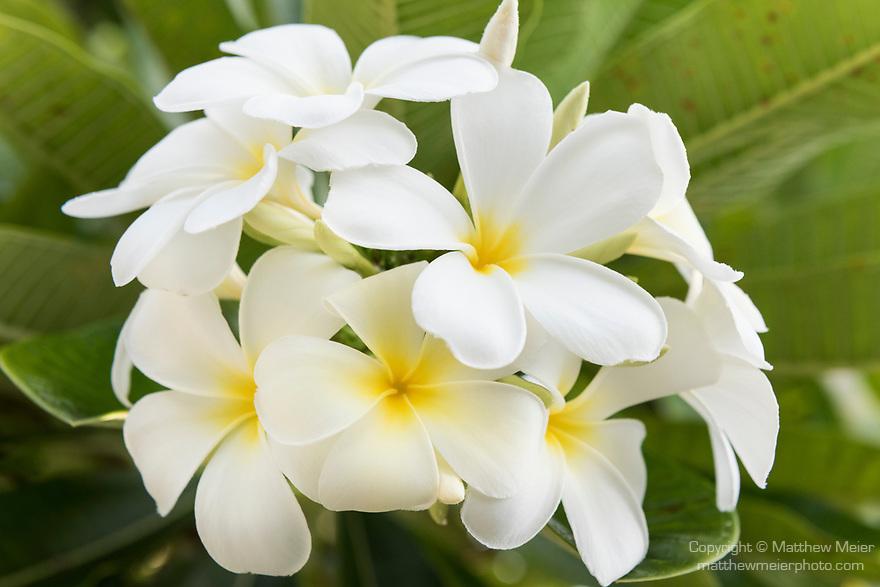 Rangiroa Atoll, Tuamotu Archipelago, French Polynesia; white frangipani flowers growing in bunches on a tree