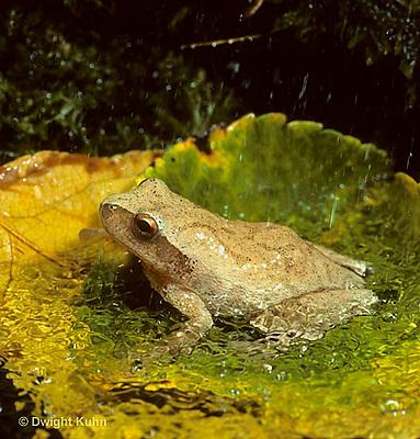FR16-019z  Spring Peeper Tree Frog - sitting in puddle during falling spring rain-  Pseudacris crucifer, formerly Hyla crucifer