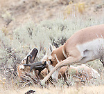 Pronghorn Antelope are a frequent site in Yellowstone National Park.