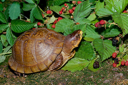 Box turtle with fresh blackberries, Missouri