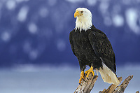 Bald eagle, Homer, Alaska. Fish are the main diet of the Bald Eagle. Herring, flounder, pollock, and salmon are taken along the coast, while the Interior populations prey heavily upon salmon. Eagles also prey upon waterfowl, small mammals, sea urchins, clams, crabs, and carrion.