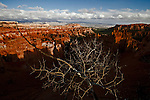 A tree inside Bryce Canyon National Park in the late fall.