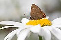 White-letter Hairstreak butterfly (Satyrium w-album) feeding on Shasta Daisy {Leucanthemum sp.} in garden. Derbyshire, UK. August.