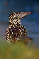 576017053 a wild greater roadrunner geococcyx californianus looks back over its shoulder next to a small pond on a private ranch in the rio grande valley of south texas