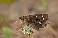 389370001 a wild eufala skipper butterfly leroda eufala perches on a small leaf at big creek scenic area jasper county texas united states