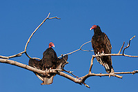 Two turkey vultures roost in a bare tree near the Beaver River in Ontario.