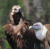 Cinereous vulture (Aegyplus monachus) on the left Griffon vulture (Gyps fulvus) on the right, in the Zone Europe of the new Parc Zoologique de Paris or Zoo de Vincennes, (Zoological Gardens of Paris or Vincennes Zoo), which reopened April 2014, part of the Musee National d'Histoire Naturelle (National Museum of Natural History), 12th arrondissement, Paris, France. Picture by Manuel Cohen