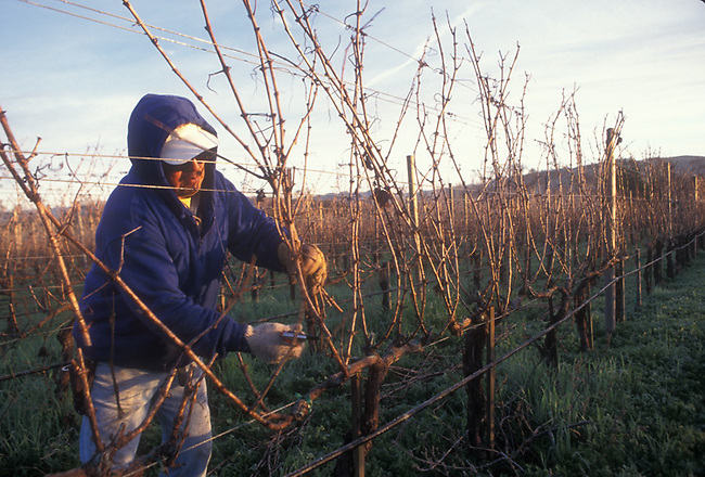 Vineyard worker prunes grapevines in winter, to prepare the vines for another growing season