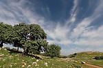 T-066 Styrax tree in Yodfat