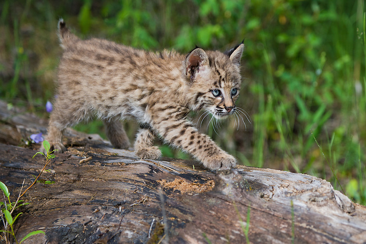 Bobcat kitten walking along an old log - CA