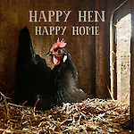 Beautiful Black Leghorn Hen sitting on a nest of straw with sunlight streaming into her laying box at a farm in rural Stockholm, Wisconsin.