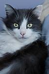A portrait of a Norwegian Forrest Cat.