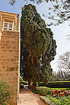 T-049 Cypress tree near Nahariya