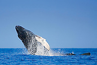 Humpback Whale calf, breaching by mother whale, Megaptera novaeangliae, Hawaii, Pacific Ocean.
