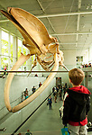 A young boy looks on, fascinated by the new blue whale exhibit at the Beaty Biodiversity Museum located on the campus of The University Of British Columbia Vancouver BC, May 22nd 2010.  This was the first of five free summer previews of the exhibit open to the public.  The skeleton is the largest in Canada 25-meters long, and largest in the world suspended without an external armature.  The blue whale is the largest animal to have ever live on earth..The Canadian Press Images/ Gus Curtis